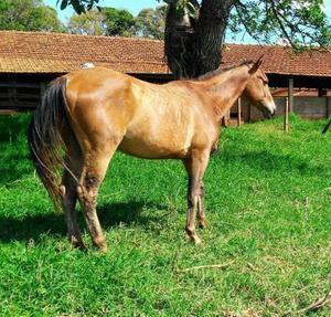 Cavalo Quarto de Milha 0