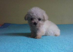 Poodle Miniatura 0