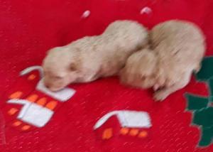 Filhotes de Poodle toy Femeamacho Balneario Camboriú barato 0