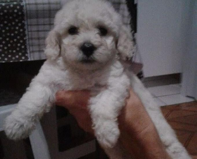 Poodle micro Toy macho 0