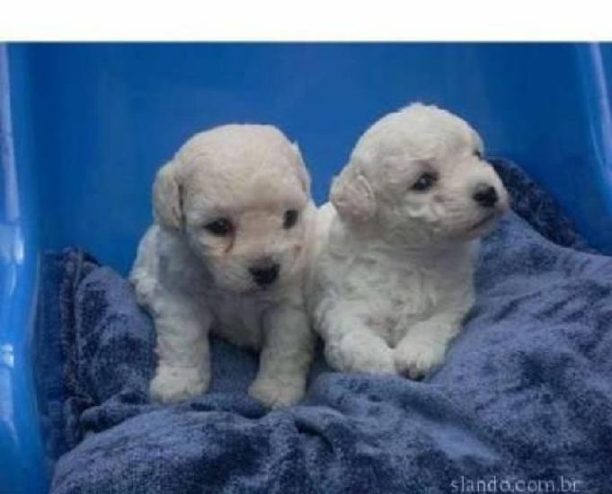 Poodle Micro Toy filhotes (parcelo nos cartões) 0