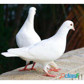 Pombo branco para cerimonias