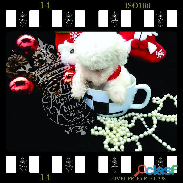 Poodle micro e poodle toy canil especializado em poodles desde 1989 lovpuppies kennel