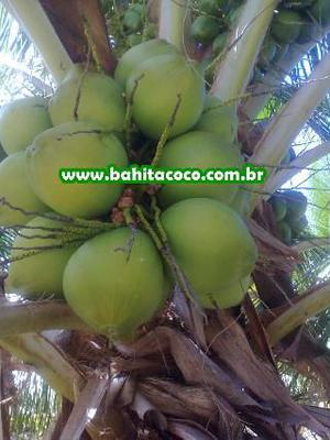 Coco verde direto do produtor
