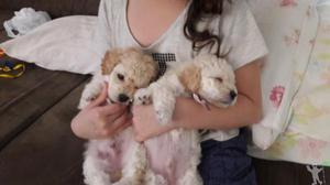 Filhotes poodle toy macho