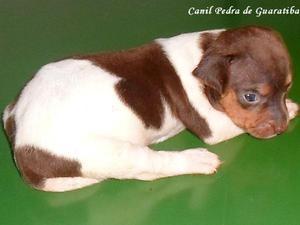 Terrier brasileiro (fox paulistinha) fêmea fígado