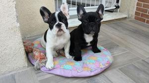 Macho bulldog francês tigrado