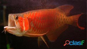 Albino aruanã peixe para venda
