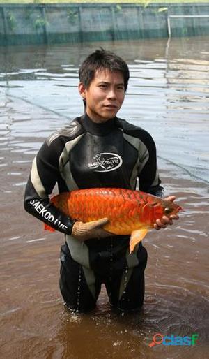 Aruanã peixe para venda.