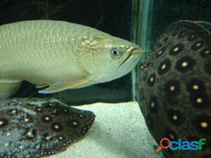 Silver aruanã peixe para venda