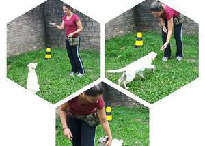 Adestramento de cães - pet e esporte