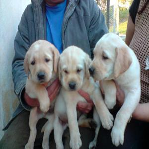 Labrador amarelo, filhotes lindos venham conferir.