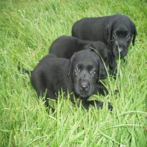 Labrador preto, lindos bebezinhos