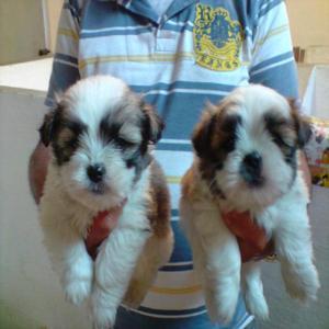 Lhasa apso,lindos bebês