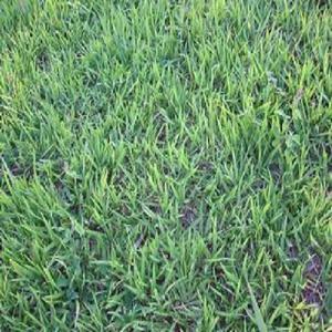 Sementes de grama batatais (grama mato grosso)