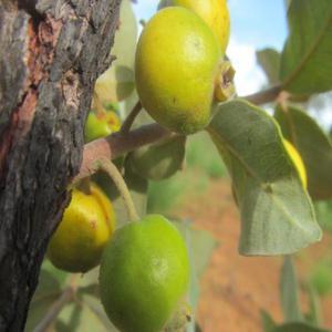 Frutas raras do cerrado araça