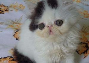 Lindíssimo filhotes de gatos persa a venda