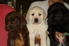 Labrador amarelo, chocolate e preto