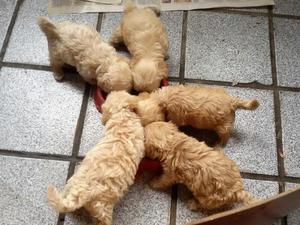 Filhote de poodle toy machos e fêmea
