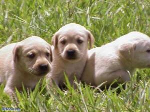 Labrador retriver apaixonantes e fieis