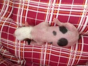 Vendo Filhotes de Cão de Crista Chinês - Rio de Janeiro