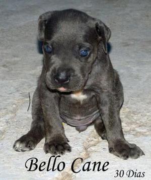 Vendo filhotes cane corso Italiano - Rio de Janeiro