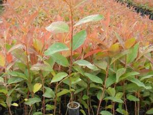eucalipto de cheiro em brasília