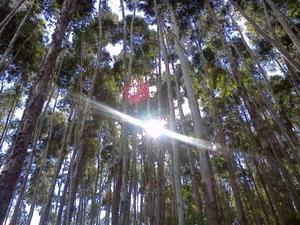 muda de eucalipto
