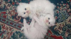 Filhotes de gato persa puro com 45 dias de olhos azuis -