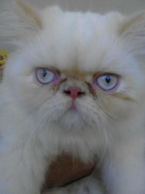 Procura-se uma gata persa para propcriação com meu Gato