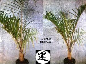 palmeira triangulo