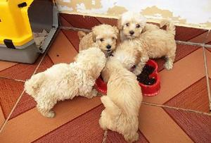 Filhotes de poodle toy machos e fêmea