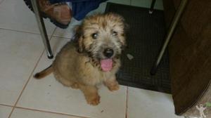 Cachorro lhasa apso filhote