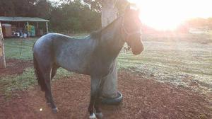 Cavalo crioulo, registrado, 05 anos de idade, muito manso