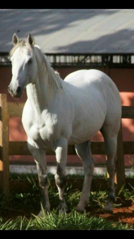 Cavalos registrados quarto de milha
