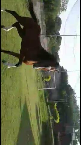 Cavalo puro sangue inglês inteiro