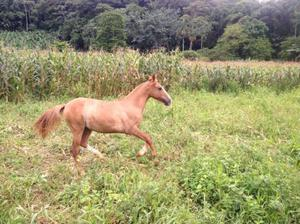 Potra crioula registrada