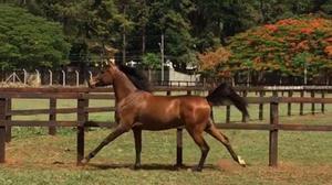 Vendo cavalo anglo árabe