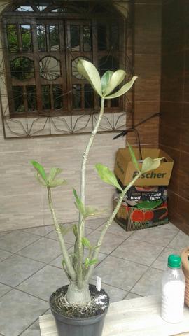 Flor deserto