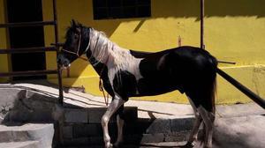 Cavalo mangalarga paulista registrado