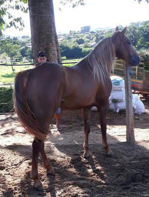 Vendo cavalo po registrado aceito moto ou vaca no negócio