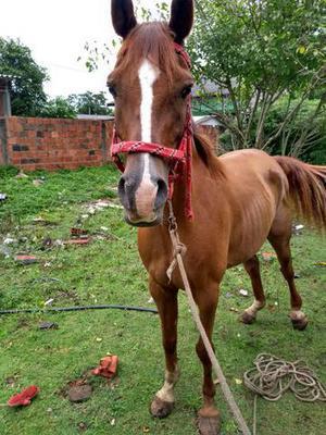 Vendo cavalo árabe puro