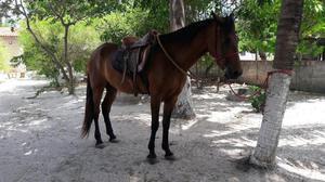 Cavalo mangalarga marchador registrado