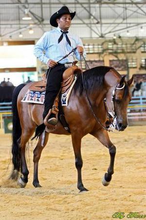 Cavalo puro sangue árabe