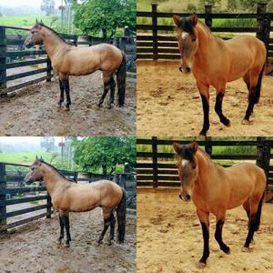 Cavalo da raça crioulo