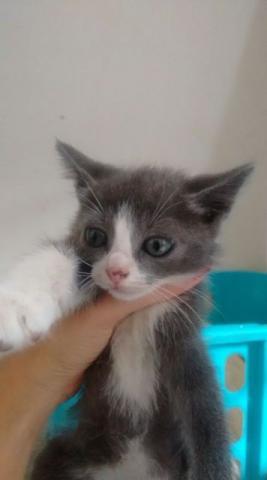 Doa-se gato cinza patas e barriga branca/ 1mês/ abandonado