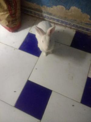Doa-se coelho,manso