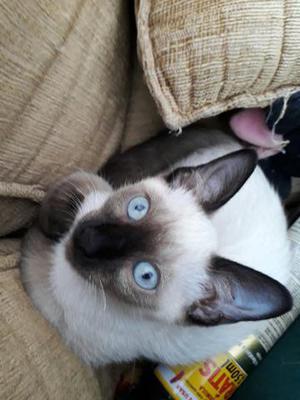 Doação de gatos castrados machos siamêses