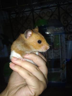 Doação de hamster sirio