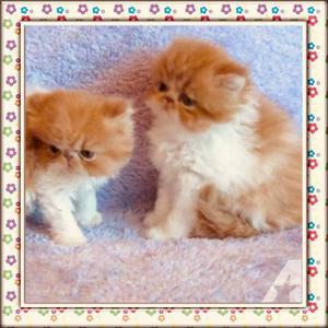 Filhote de gatinho persa padrão show legítimo